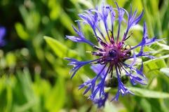 Floración azul y púrpura de la flor Imagen de archivo