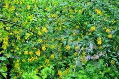 Floración baberry Fotografía de archivo libre de regalías