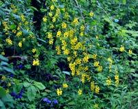 Floración baberry Fotografía de archivo