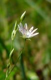 Floración blanca Foto de archivo libre de regalías