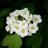 Floración blanca foto de archivo