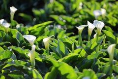 Floración blanca de la cala Fotografía de archivo libre de regalías