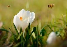 Floración blanca de la flor del azafrán Imagenes de archivo
