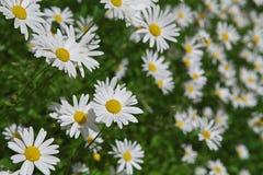 Floración blanca de la manzanilla en el jardín del verano imagen de archivo libre de regalías