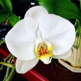 Floración blanca de la orquídea del phalaenopsis Imagen de archivo libre de regalías