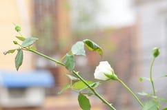 Floración blanca de Rose en el otoño que es llamativo y ornamental que añade a al paisaje del jardín fotos de archivo libres de regalías