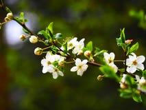 Floración blanca del árbol en el sol Foto de archivo