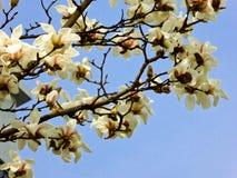 Floración blanca del denudata de la magnolia fotografía de archivo libre de regalías