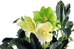 Floración blanca del hellebore verde Imagen de archivo libre de regalías
