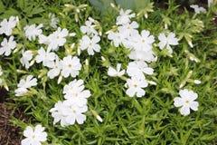 Floración blanca del subulate del polemonio en el jardín fotografía de archivo