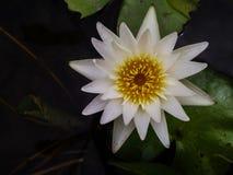 Floración blanca Lotus en agua Imagen de archivo