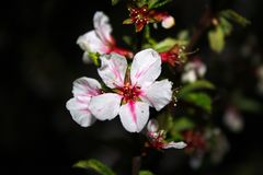 Floración blanca roja hermosa de la cereza en la noche, fondo oscuro imagenes de archivo