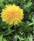 Floración brillante del diente de león Fotos de archivo