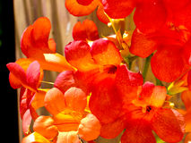 Floración china de la enredadera de trompeta Fotos de archivo
