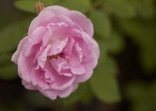 Floración color de rosa de la flor del inglés fotos de archivo