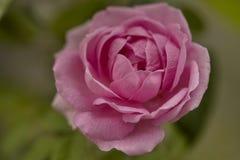 Floración color de rosa de la flor del inglés imagen de archivo