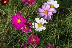 Floración colorida de la flor del calliopsis Foto de archivo libre de regalías