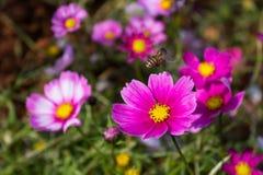 Floración colorida de la flor del calliopsis Imagen de archivo