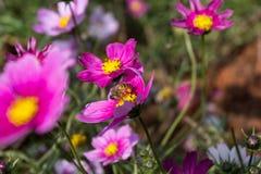 Floración colorida de la flor del calliopsis Foto de archivo