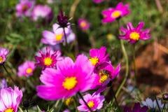 Floración colorida de la flor del calliopsis Fotografía de archivo libre de regalías