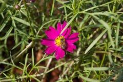 Floración colorida de la flor del calliopsis Fotos de archivo libres de regalías
