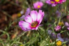Floración colorida de la flor del calliopsis Fotografía de archivo