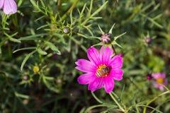 Floración colorida de la flor del calliopsis Imagenes de archivo