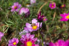 Floración colorida de la flor del calliopsis Fotos de archivo