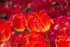 Floración colorida de la flor del tulipán en el jardín Imagenes de archivo