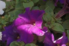 Floración completamente abierta de la petunia púrpura con la luz natural de la mañana y una raya de la luz del sol imagenes de archivo