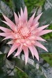 Floración de Aechmea Fasciata Bromeliad Fotografía de archivo