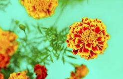 Flores Barkchatsi Tagetes. Imagen de archivo libre de regalías