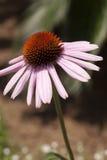 Floración de Coneflower Foto de archivo
