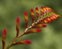 Floración de Crocosmia Fotos de archivo