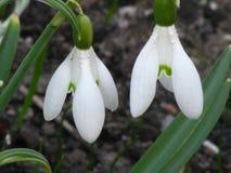 Floración de dos snowdrop Imagen de archivo