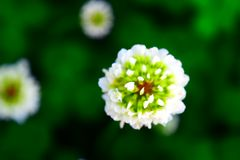 Floración de griterío del brote del trébol del campo Fotos de archivo