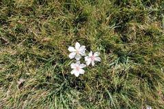 Floración de la almendra en el césped Flores blancas Fotografía de archivo libre de regalías