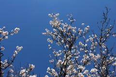 Floración de la almendra en el jardín de la primavera Imagenes de archivo