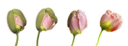 Floración de la amapola Fotos de archivo libres de regalías