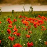 Floración de la amapola Foto de archivo libre de regalías