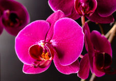 Floración de la botánica de la naturaleza de Orchidea Flower Fotografía de archivo libre de regalías