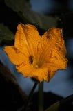 Floración de la calabaza Foto de archivo libre de regalías