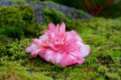 Floración de la camelia Foto de archivo libre de regalías