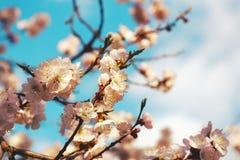 Floración de la cereza Fotos de archivo libres de regalías