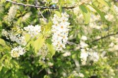 Floración de la cereza de pájaro en mayo Fotografía de archivo