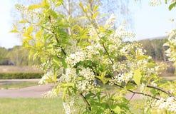 Floración de la cereza de pájaro en mayo Imagenes de archivo