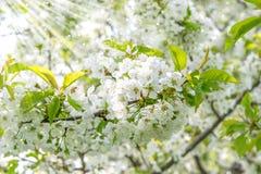 Floración de la cereza Flores de la primavera con los rayos del sol fotografía de archivo