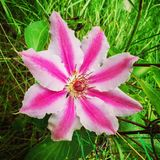 Floración de la clemátide del moser de Nelly Foto de archivo