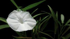 Floración de la correhuela foto de archivo libre de regalías