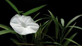 Floración de la correhuela fotografía de archivo